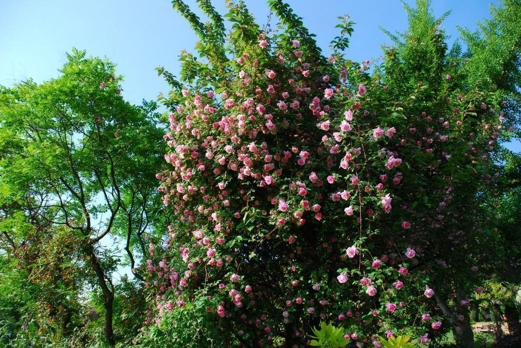 Les Roses Anciennes De La Bonne Maison Lyon France